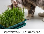 Stock photo maine coon kitten eating green grass a healthy diet for cats green grass helps regurgitate the 1520669765