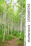 Birch Trees In Korea's ...