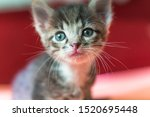 Stock photo little kitten is looking up striped gray kitten with blue eyes looks up enthusiastically 1520695448