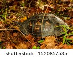 A Box Turtle Eating Muscadines