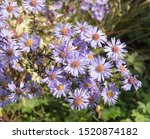 Autumn Flowering Lavender Blue...