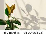 Ficus Elastic Plant Rubber Tre...
