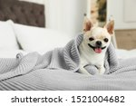 Stock photo adorable toy terrier wrapped in light blue knitted blanket on bed domestic dog 1521004682