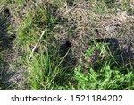 Small photo of Voles undermine the dike near Bensersiel, northern Germany