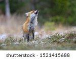 Red Fox  Vulpes Vulpes Europea...