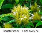 Golden Plume  Schaueria...