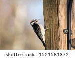 Downy Woodpecker In Richmond Bc ...