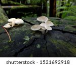 Small photo of mushroom is living organism in fungi kingdom phylum Basidiomycota and phylum Agaricomycota