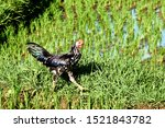 Rooster   Is A Male Chicken. A...