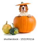 Beagle In Pumpkin Isolated On ...