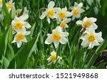 Narcissus Flowers Flower Bed...