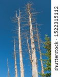 Dead Spruce Trees Against A...