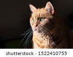 Orange Cat  Mixed Breed  Half...