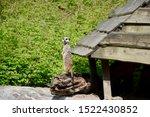 Meerkat In Zoo On Log  Posting