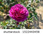 Small photo of Ebb Tide rose with water drops in the field. Scientific name: Rosa 'Ebb Tide'. Flower bloom Color: Mauve, fading to deep purple.