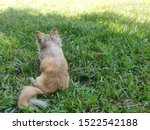 Stock photo bushy backside from a brown white long hair chihuahua puppy dog sitting in grass 1522542188