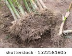 Dig Bamboo Tree Cut Root For...