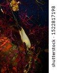 Small photo of Underwater photographs of Scyliorhinus canicula's eggs (Linnaeus, 1758) Lesser spotted dogfish