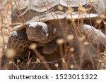 Stock photo a male desert tortoise gopherus agassizii found while hiking in joshua tree national park 1523011322