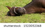 Horse With Colic Lay Down And...