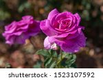 melody parfumee rose with water ... | Shutterstock . vector #1523107592