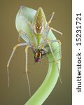 A Male Green Lynx Spider Is...