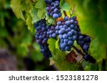 Gamay Grapes On Vines With Lus...