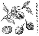 Nutmeg Spice Vector Sketch....