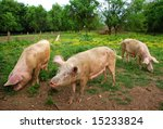 Pigs eating on a meadow - stock photo