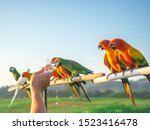 Stock photo cute group of pet parrot is eating water from its owner this group of parrots is a pet that is 1523416478