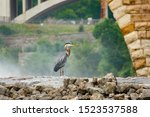 A great blue heron stands on an wall on the Mississippi River in Minneapolis, MN.