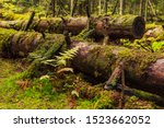 Old Trunks Covered With Moss In ...