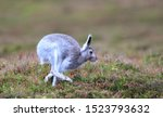 Stock photo mountain hare at the change of season it autumn and the mountain hares are changing colour from 1523793632