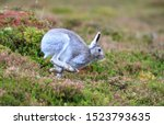 Stock photo mountain hare at the change of season it autumn and the mountain hares are changing colour from 1523793635