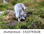 Stock photo mountain hare at the change of season it autumn and the mountain hares are changing colour from 1523793638