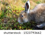 Stock photo mountain hare at the change of season it autumn and the mountain hares are changing colour from 1523793662