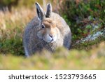 Stock photo mountain hare at the change of season it autumn and the mountain hares are changing colour from 1523793665