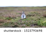 Stock photo mountain hare at the change of season it autumn and the mountain hares are changing colour from 1523793698