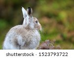 Stock photo mountain hare at the change of season it autumn and the mountain hares are changing colour from 1523793722