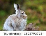 Stock photo mountain hare at the change of season it autumn and the mountain hares are changing colour from 1523793725