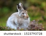 Stock photo mountain hare at the change of season it autumn and the mountain hares are changing colour from 1523793728
