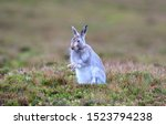 Stock photo mountain hare at the change of season it autumn and the mountain hares are changing colour from 1523794238