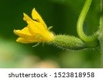 Flowering Small Young Cucumber...