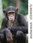 A Wildlife Shot Of Chimpanzees...