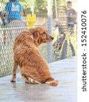 a sad golden retriever sitting on a pool deck - stock photo