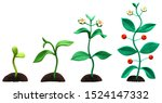 four stages of flower growth ... | Shutterstock . vector #1524147332