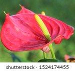 Red Flamingo Flower Anthurium...