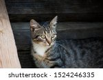 Stock photo  gray brown striped kitten with a white breast on a background of wooden logs little cute kitten 1524246335