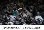 Wild City Pigeons  Columba...