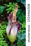Corpse Plant Bloom  Or Titan...